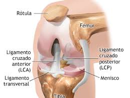 Anatomía de rodilla