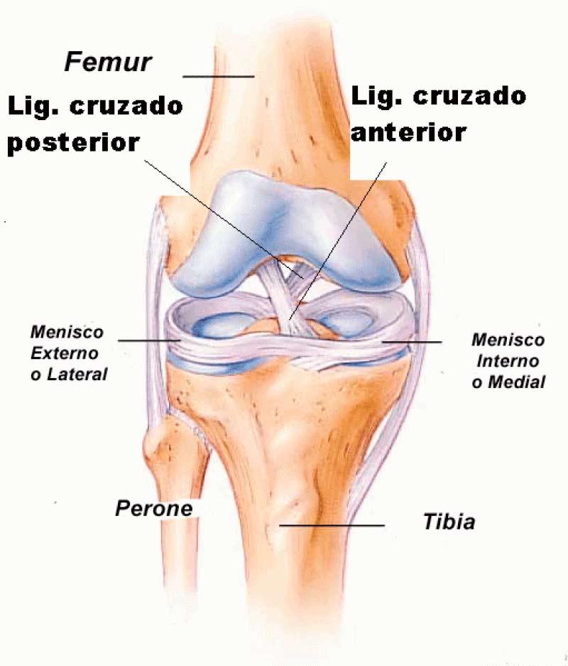 Partes de la rodilla